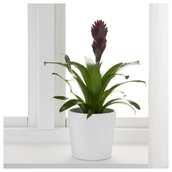 BROMELIACEAE Растение в горшке Бромелия/различные растения 12 см - Артикул: 903.808.97