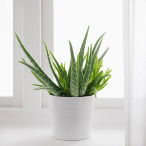 АЛОЭ ВЕРА Растение в горшке Алоэ 12 см - Артикул: 903.719.11