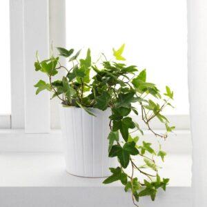 ХЕДЕРА ХЕЛИКС Растение в горшке Плющ 13 см - Артикул: 603.719.17