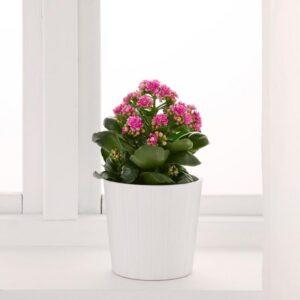 КАЛАНХОЭ Растение в горшке Каланхоэ Блосфельда 12 см - Артикул: 203.719.19
