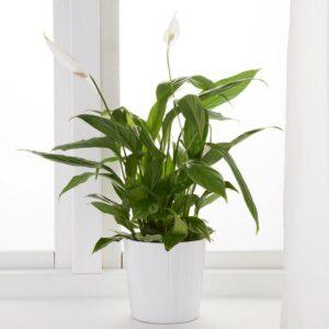 СПАТИФИЛЛУМ Растение в горшке Спатифиллум 12 см | Артикул: 003.719.63