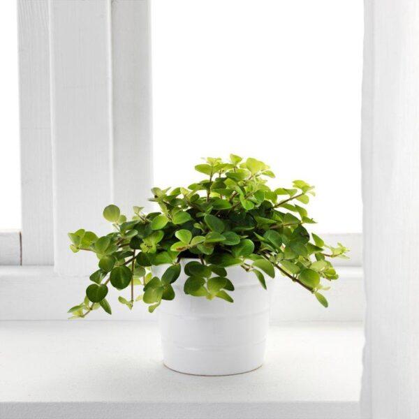 ГИМАЛАЙАМИКС Растение в горшке различные растения 12 см - Артикул: 403.719.18