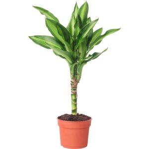 ДРАЦЕНА Растение в горшке 9 см - Артикул: 903.927.58