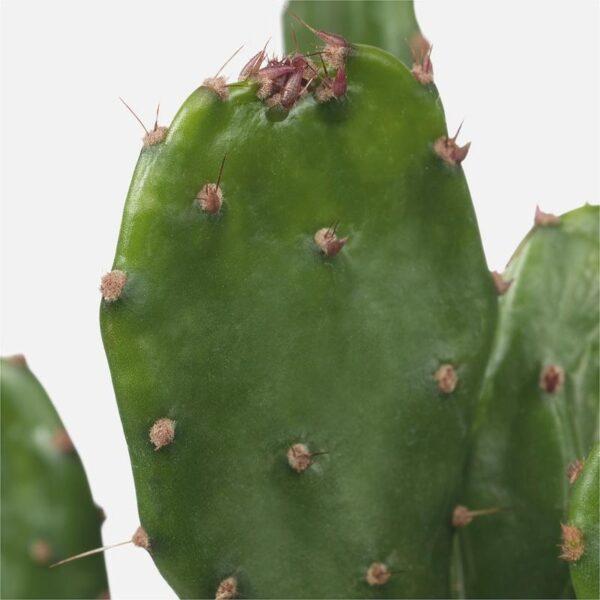ЦЕРЕУС ПЕРУАНСКИЙ Растение в горшке без колючек 12 см - Артикул: 403.927.65
