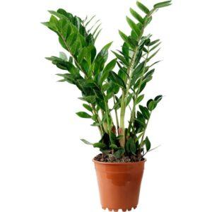 ZAMIOCULCAS Растение в горшке Замиокулкас 17 см - Артикул: 703.804.31