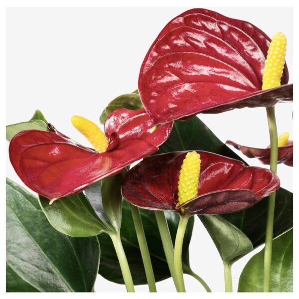 АНТУРИУМ Растение в горшке, Антуриум 12 см - 004.449.07