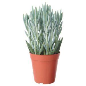 КРЕСТОВНИК ФИКУСОВИДНЫЙ «ЭВЕРЕСТ» Растение в горшке, Крестовник синий - 603.927.88