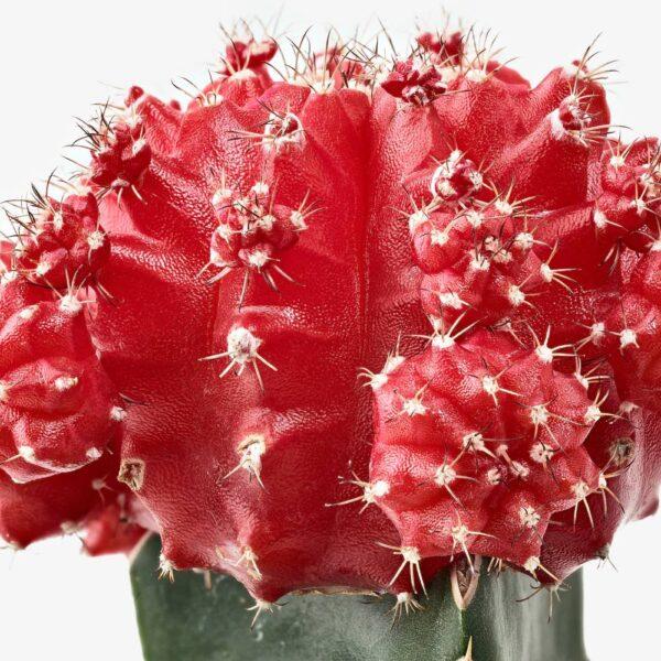 ГИМНОКАЛИЦИУМ Растение в горшке, кактус Гимнокалициум 9 см - 204.284.02