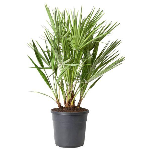 HUMILIS ХАМЕРОПС Растение в горшке 24 см - 804.934.04