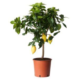 ЦИТРУС Растение в горшке, лимон 21 см - 604.918.92