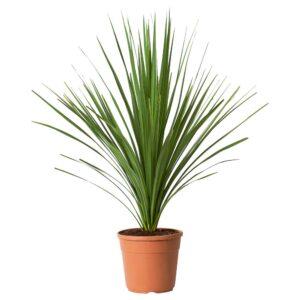 INDIVISA КОРДИЛИНА Растение в горшке, Капустное дерево 24 см - 204.934.02