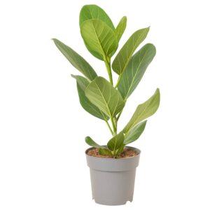 AUDREY ФИКУС ОДРИ Растение в горшке 17 см - 705.010.32