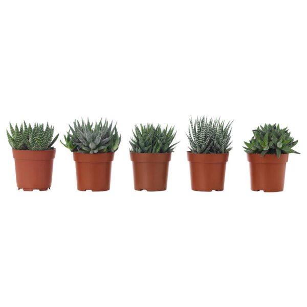 ХАВОРТИЯ Растение в горшке, различные растения 6 см - 204.924.69