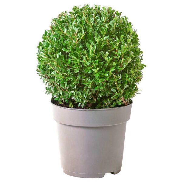 ОСТРОЛИСТ Растение в горшке, Остролист городчатый 21 см - 604.924.67