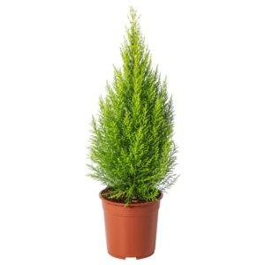 КРУПНОПЛОДНЫЙ Растение в горшке, кипарис 24 см - 204.918.94