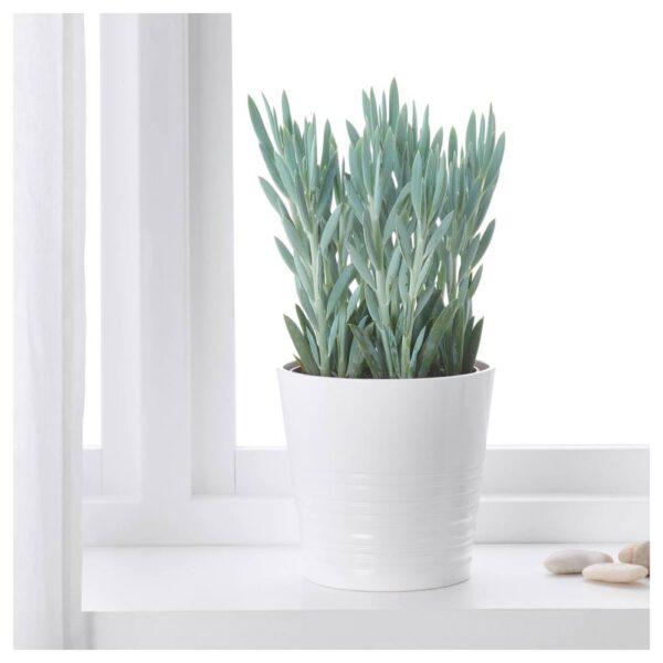 ФИКУСОВИДНЫЙ «ЭВЕРЕСТ» Растение в горшке, Крестовник синий 15 см - 404.933.97