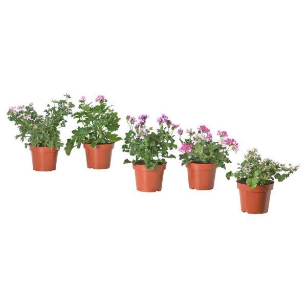 ПЕЛАРГОНИЯ Растение в горшке, различные растения/ароматический 14 см - 304.934.06